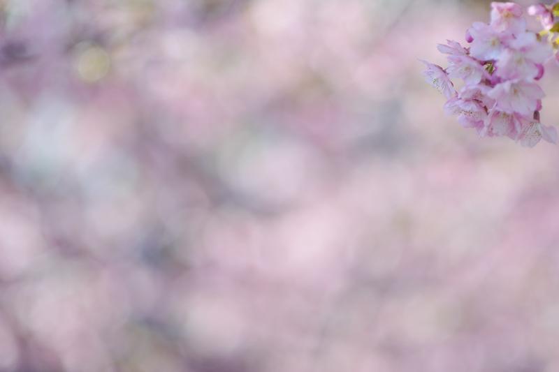 0河津桜2.jpg